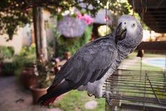 Verkligt levande afrikanskt papegojahem bredvid hans cell i trädgården Royaltyfri Foto