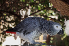 Verkligt levande afrikanskt papegojahem bredvid hans cell i trädgården Royaltyfria Bilder
