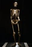 Verkligt skelett för mänsklig anatomi Royaltyfri Bild