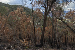 Verkohlte Bäume nach Bushfire lizenzfreies stockfoto
