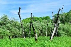 Verkohlte Baumstämme mitten in einer Wiese Stockbilder