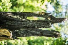 verkohlter Baum mit einem Loch Lizenzfreie Stockfotos