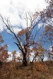 Verkoolde bomen in Blauwe Bergen Australië Stock Fotografie