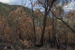 Verkoolde Bomen na Bushfire Royalty-vrije Stock Foto