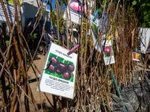 Verkoop van de zaailingen van de fruitboom op de straatmarkt Royalty-vrije Stock Fotografie