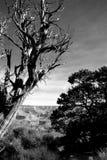 Verkrüppelter Schwarzweiss-Baum Stockbild