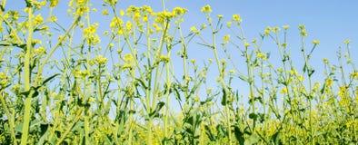verkrachting Raapzaadgebied tijdens het bloeien Bloemkool, Chinese kool en kool op houten scherpe raad Oliezaadcultuur Landbouw f royalty-vrije stock foto