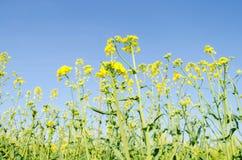 verkrachting Raapzaadgebied tijdens het bloeien Bloemkool, Chinese kool en kool op houten scherpe raad Oliezaadcultuur Landbouw f royalty-vrije stock foto's