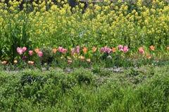 Verkrachtingsbloesems en tulpen stock foto