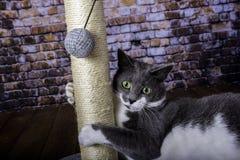 Verkratzen des Beitrags und der grauen und weißen Katze Lizenzfreies Stockbild