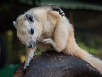 Verkratzen des weißen Eichhörnchens, Thailand Stockbilder
