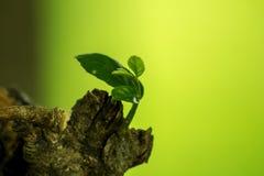 Verlässt vom Baum, der vom Stamm abbrach stockbild