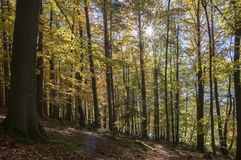 Verlaat het beuk vergankelijke bos tijdens de herfst zonnige dag, bladeren trillende kleuren op takken, detail tegen zon royalty-vrije stock foto