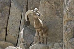 Verlaat Schapen Bighorn stock foto's