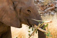 Verlassen Sie den Elefanten, der Niederlassungen des Baums in der Wüste kaut Lizenzfreie Stockfotografie