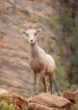 Verlassen Sie die großen gehörnten Schafe, die auf einem Zutageliegen stehen und in Richtung der Kamera im Schluchtland von Zion  Stockfotos