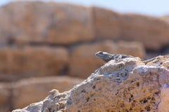 Verlassen Sie Eidechsenseitenporträt auf heißen Bruchsteinen in archäologischem Stockbild