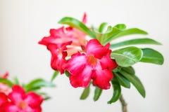 Verlassen Sie Rose Impala Lily, Scheinazalee oder Adenium, die auf wh lokalisiert werden Stockbilder