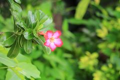 Verlassen Sie Rose Tropical-Blume schönen rosa Adenium im Garten Lizenzfreie Stockbilder