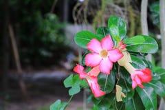 Verlassen Sie Rose Tropical-Blume schönen rosa Adenium im Garten Lizenzfreie Stockfotografie