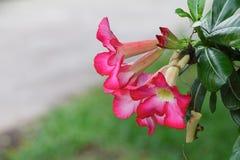 Verlassen Sie Rose Tropical-Blume schönen rosa Adenium im Garten Lizenzfreies Stockfoto
