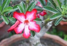 Verlassen Sie Rose Tropical-Blume schönen rosa Adenium im Garten Stockbilder