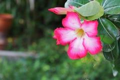 Verlassen Sie Rose Tropical-Blume schönen rosa Adenium im Garten Stockfoto
