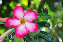 Verlassen Sie Rose Tropical-Blume schönen rosa Adenium im Garten Lizenzfreie Stockfotos