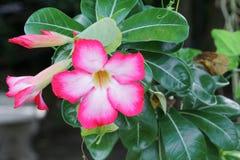 Verlassen Sie Rose Tropical-Blume schönen rosa Adenium im Garten Stockfotos