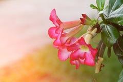 Verlassen Sie Rose Tropical-Blume schönen rosa Adenium im Garten mit Sonnenunterganglichtton Stockfoto