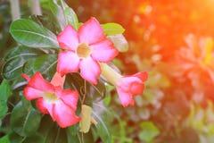 Verlassen Sie Rose Tropical-Blume schönen rosa Adenium im Garten mit Sonnenunterganglichtton Stockbilder