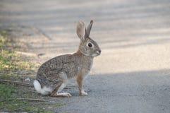 Verlassen Sie Waldkaninchen-Kaninchen Sylvilagus audubonii in der Wiese lizenzfreie stockbilder
