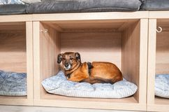 Verlassener obdachloser Hund angenommen bei den guten Leuten und bei den Lügen auf einem bequemen weichen Kissen im Geschäft für  stockfotografie