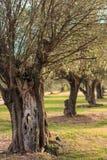 Verlassener Olivenhain im Sonnenuntergang Lizenzfreie Stockfotos