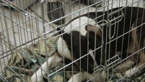 Verlaten en miserabel Bull terrier-puppy die op adopters bij hondschuilplaats wachten stock footage