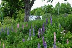 Verlaten schuur in Quebec met bloemen Stock Foto