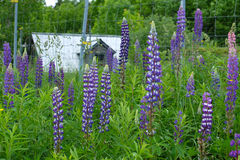 Verlaten schuur in Quebec met bloemen Stock Afbeeldingen