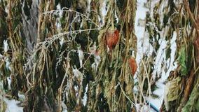 Verlaten serre in de winter Bevroren die oogst door sneeuw wordt behandeld stock video