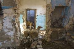Verlaten vernietigde huizen De schapen verbergen van de hitte in de ruïnes Verlaten dorpen in de Krim stock afbeeldingen