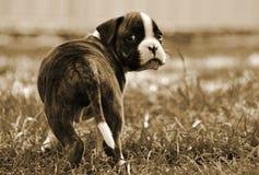 Verlatend het puppy droevig van de huisBokser kijkend Stock Foto
