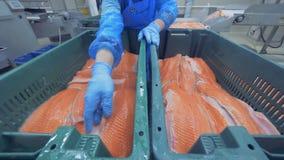 Verlegung des Prozesses der Stämme des Knorpelfisches Fischfabrik stock footage