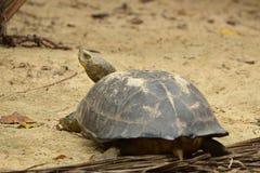 Verlengde Schildpad Stock Foto