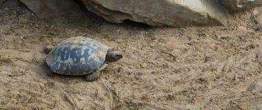 Verlengde schildpad die door tezand lopen, een bedreigd tropisch reptiel van India stock foto's