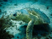 Verletzte Dummkopfseeschildkröteschwimmen auf Riff Stockfoto