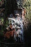 Verletzter Baum mit weißer Farbe Lizenzfreies Stockfoto