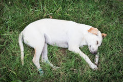 Verletzter Hund, der auf grünem Gras schläft Stockfoto