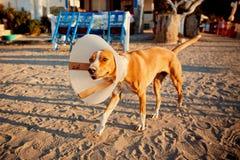 Verletzter Hund mit e-colllar stockfotos