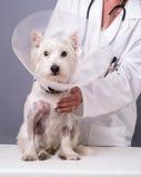 Verletzter Hund am Tierarzt stockfotografie