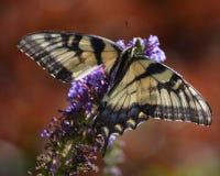 Verletzter Schmetterling Stockfoto