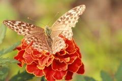 Verletzter Schmetterling Lizenzfreie Stockfotografie